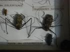 21_acrocinus-longimanus