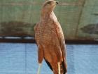 21_buteogallus-meridionalis
