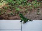 21_iguana-iguana-2