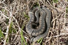 První zmije