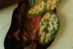 Trimeresurus puniceus copulation