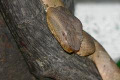 Trimeresurus puniceus (Jáva)